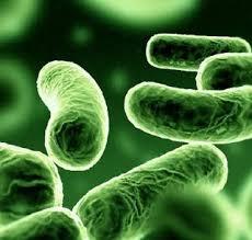 Lactobacillus Probiotic Sps